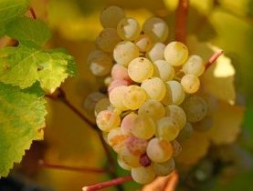 Grappe de riesling
